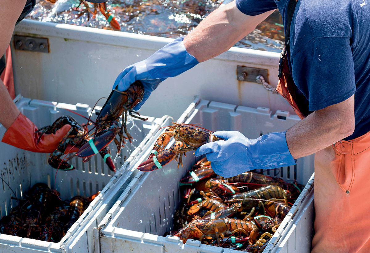 The U.S. lobster industry has rebounded thanks to aggressive management of fisheries.